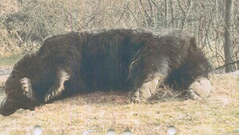 7000 de euro costa o viata de urs in Romania!